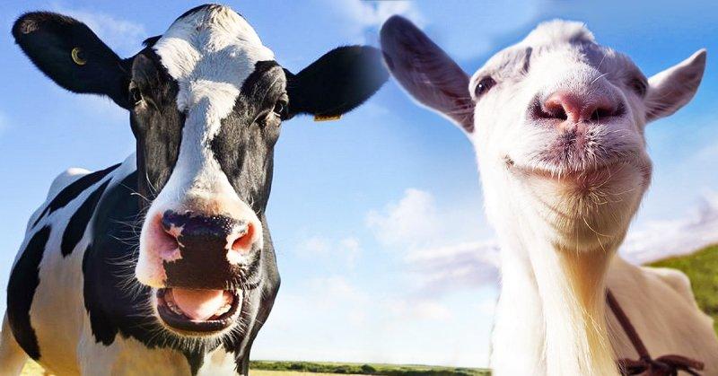 чем отличается козье молоко от коровьего
