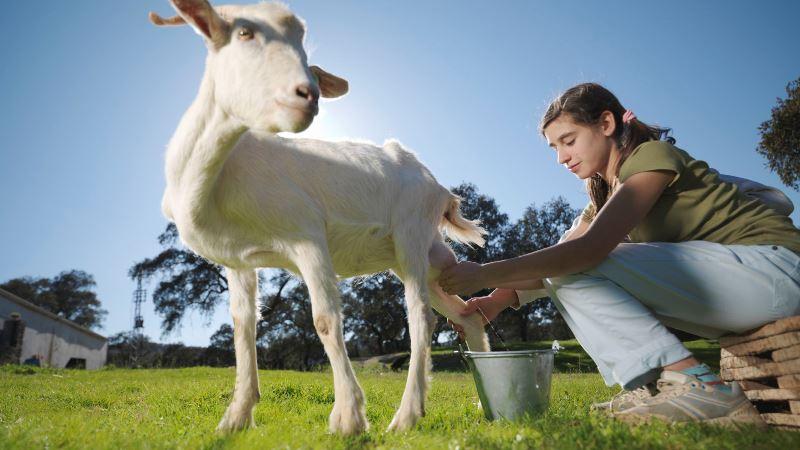 в чем отличие козьего молока от коровьего