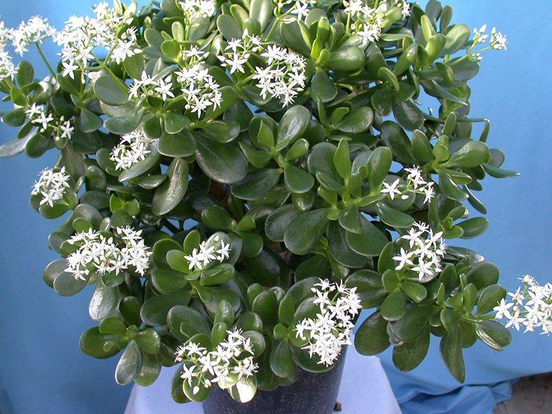 квітуча рослина