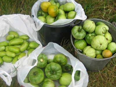 Что приготовить из зеленых помидоров
