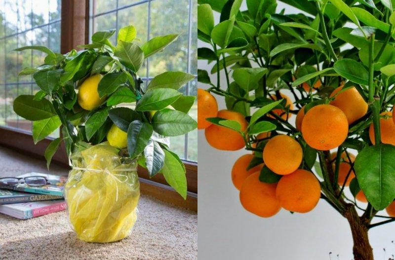 цитрусовые растения на кухне