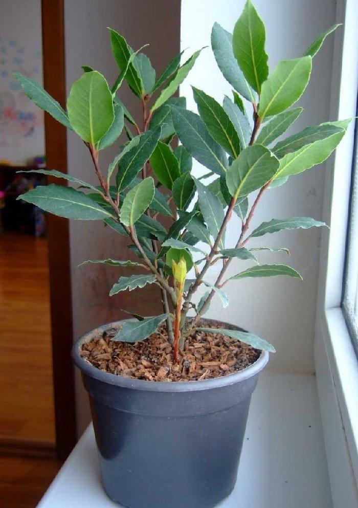 drzewo laurowe