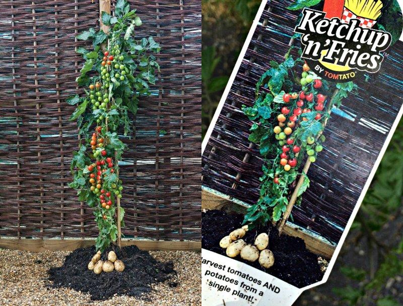 гибрид помидора и картофеля