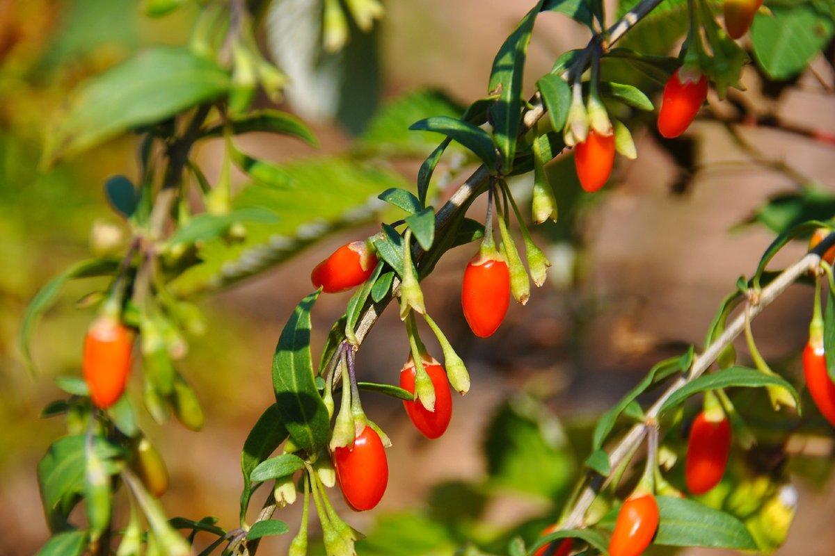 #новости   Правда ли, что ягоды годжи и барбарис это одно и то же?