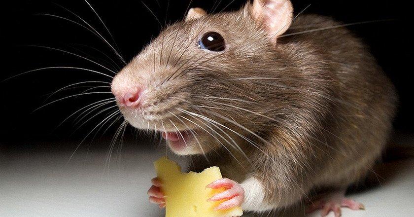 питание мышей