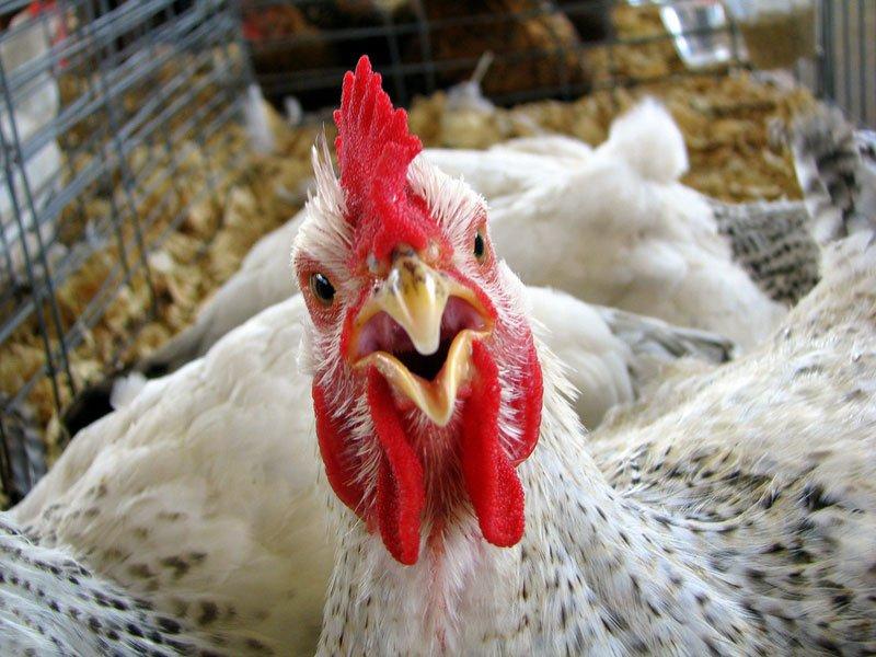 бойлерная курица
