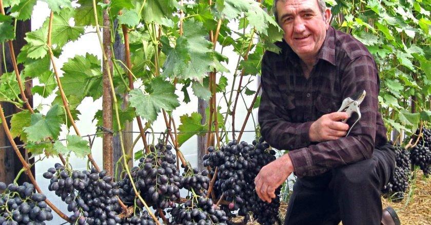 когда лучше обрезать виноград