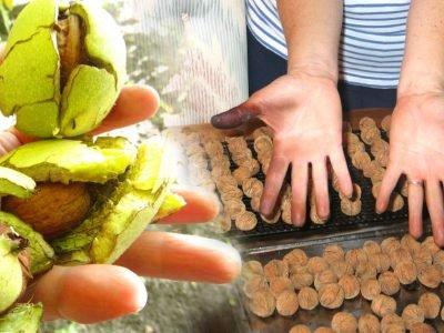 Как отбелить руки после чистки грецких орехов