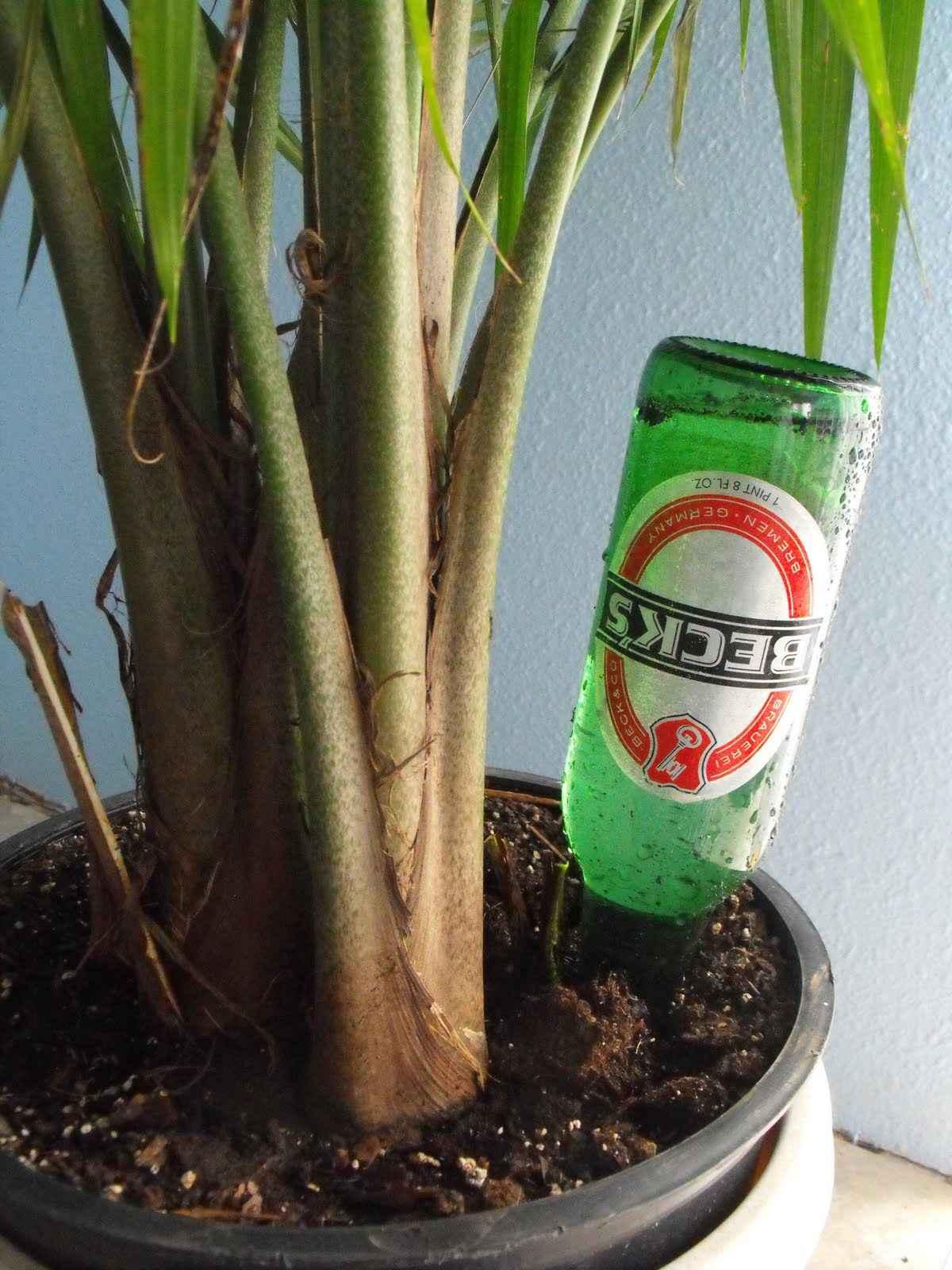 можно ли поливать комнатные растения пивом
