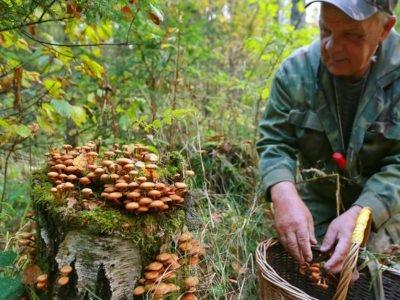 Как правильно собирать грибы: срезать или срывать