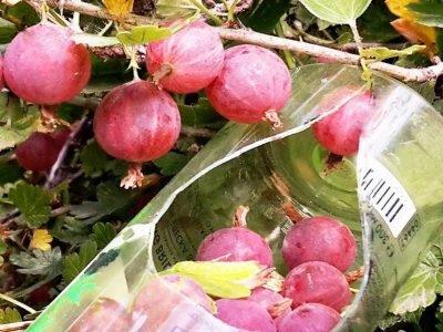 Как собирать ягоды и фрукты очень быстро