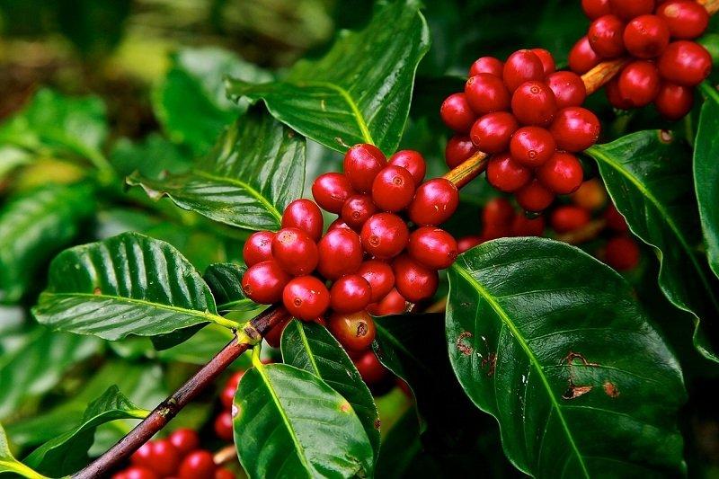 Kawa afrykańska