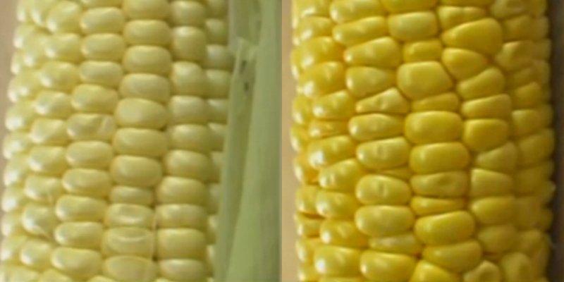как варить выбрать кукурузу
