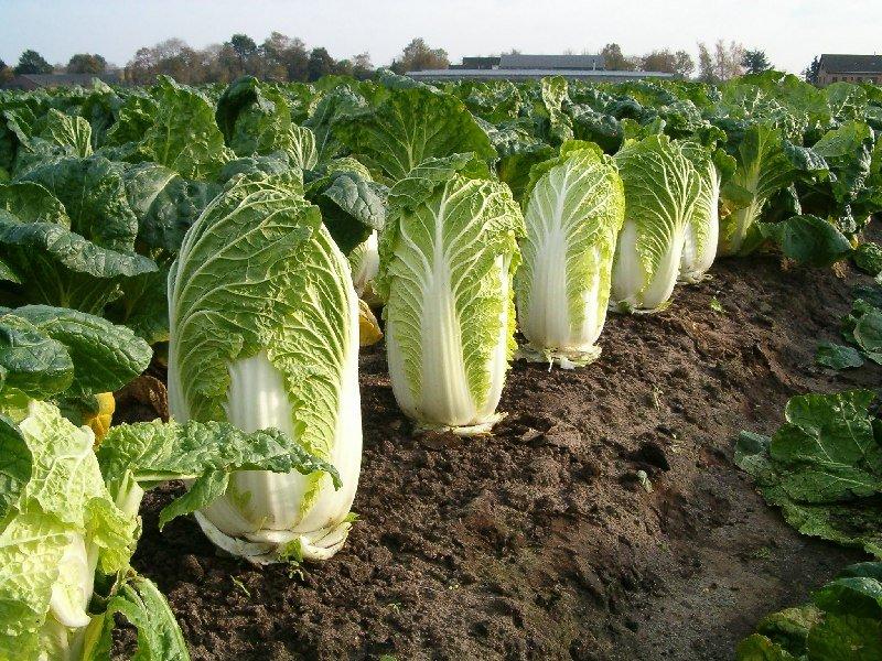 Zeleninár nám povedal, ako si vybrať tú správnu čínsku kapustu. Túto CHYBU pri jej kúpe robí každý