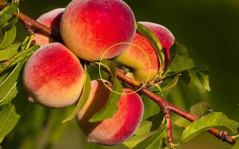 вкусные персики