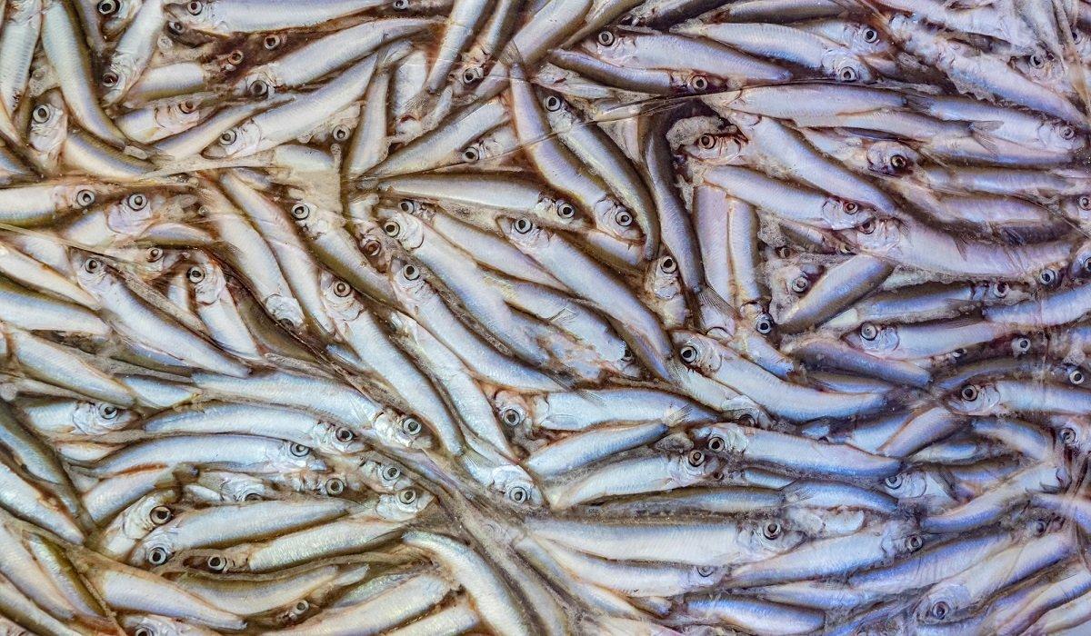 качественная рыба