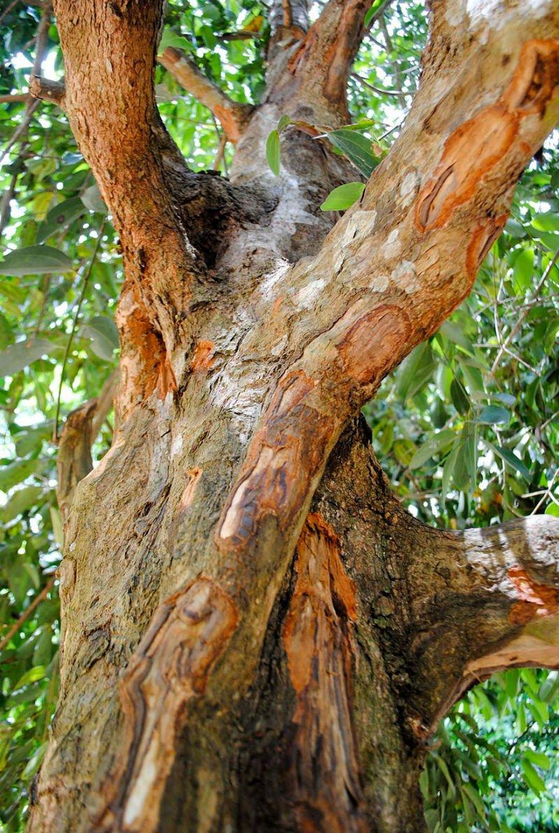 корица дерево фото