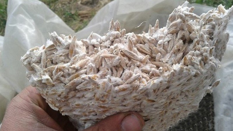 зображення грибниць глив