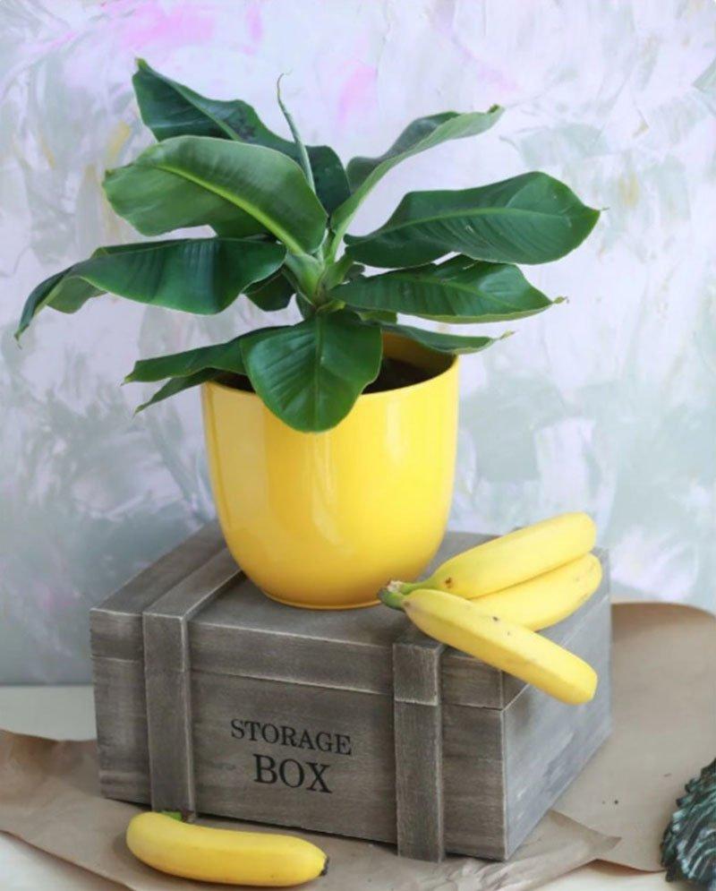 банановое растение