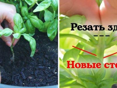 Как вырастить базилик: обрезка и размножение