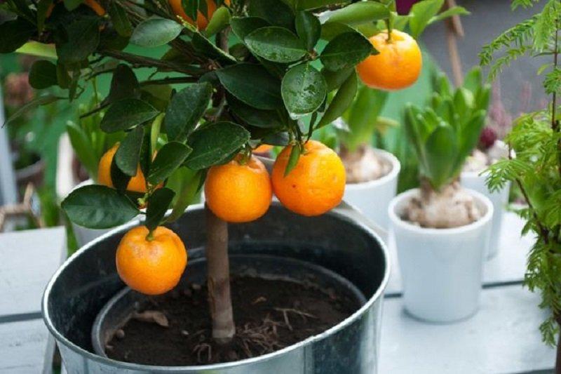 как ухаживать за апельсиновым деревом