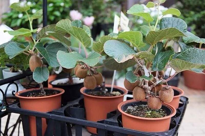 киви домашнее растение