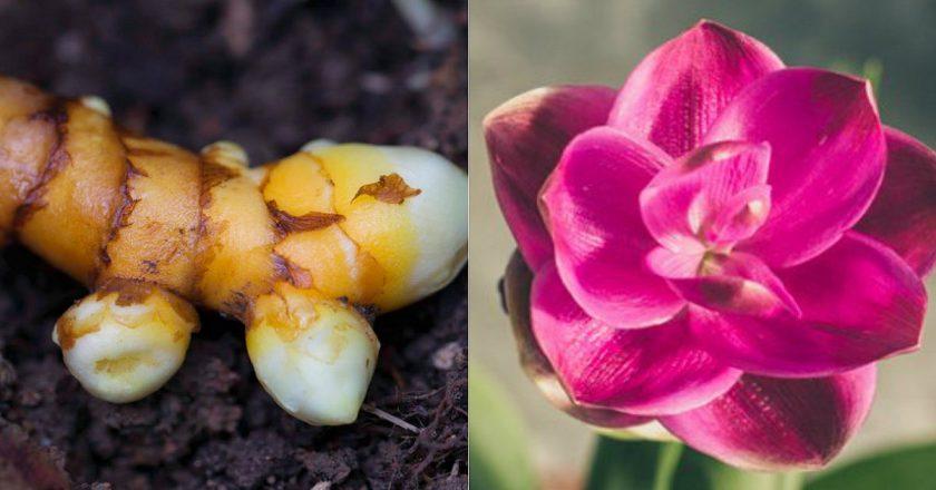 Куркума: выращивание и уход