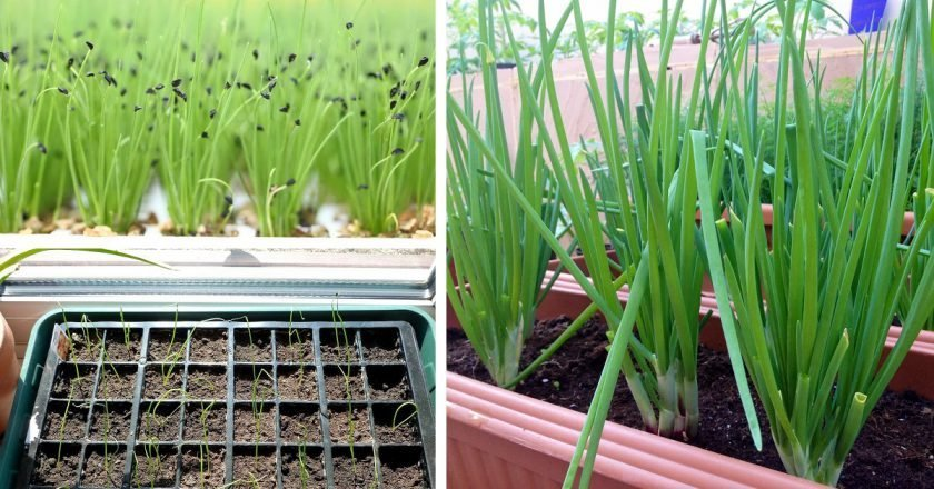 Как вырастить лук-батун