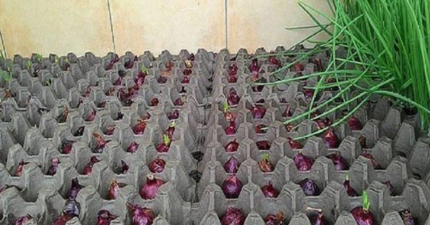 Выращивание зеленого лука в домашних условиях зимой - OndoShop.ru