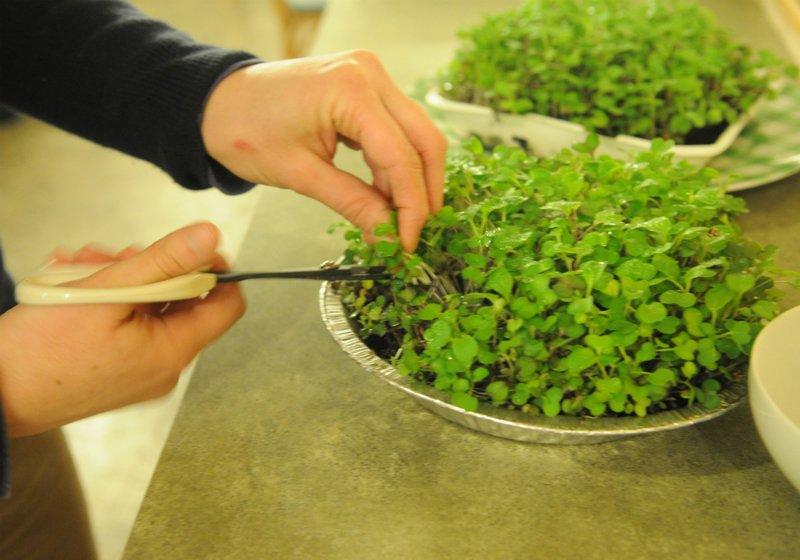 микрозелень в блюдах