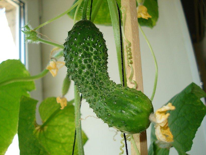 вырастить огурцы на балконе