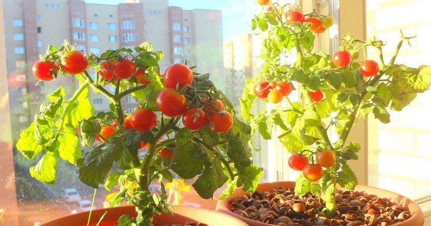 Как вырастить помидоры черри