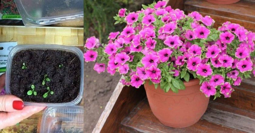 как вырастить рассаду петунии дома пошагово