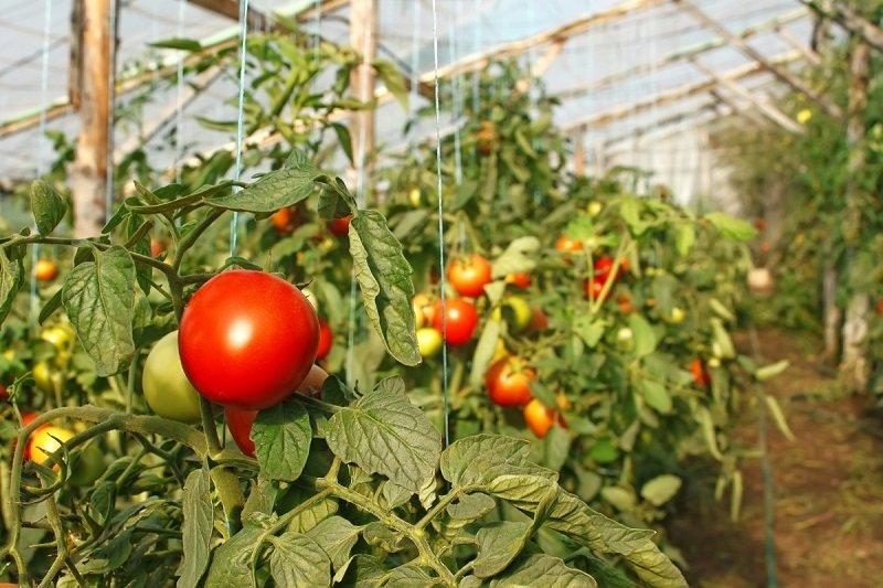 Выращивание помидор из своих семян 137