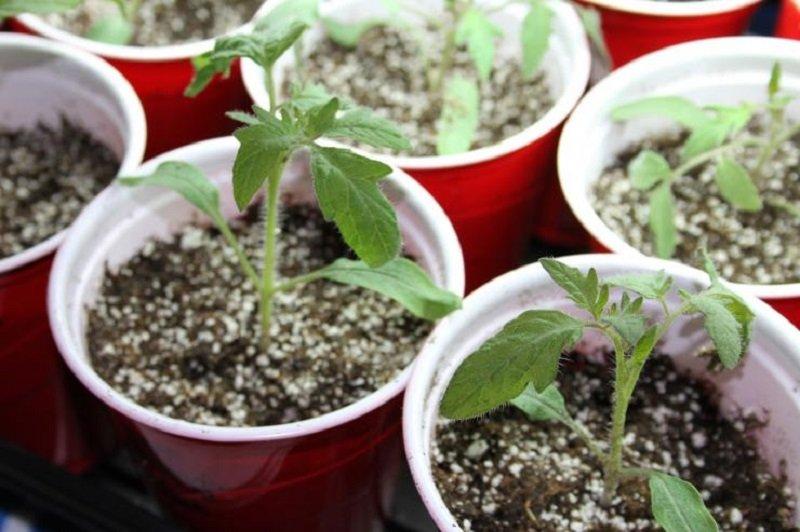 Китайский способ выращивания рассады 87