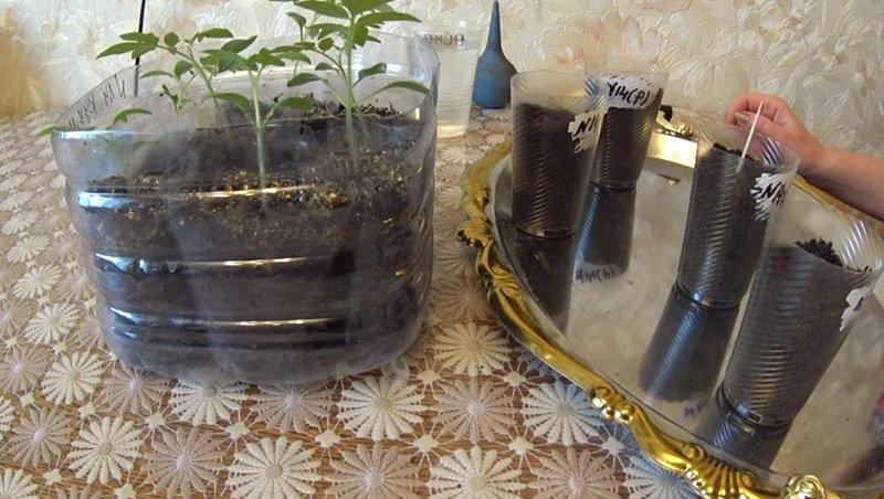 Китайский метод выращивания рассады 14