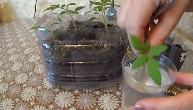 ростки помидоров