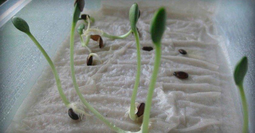 проросшие семена редиса