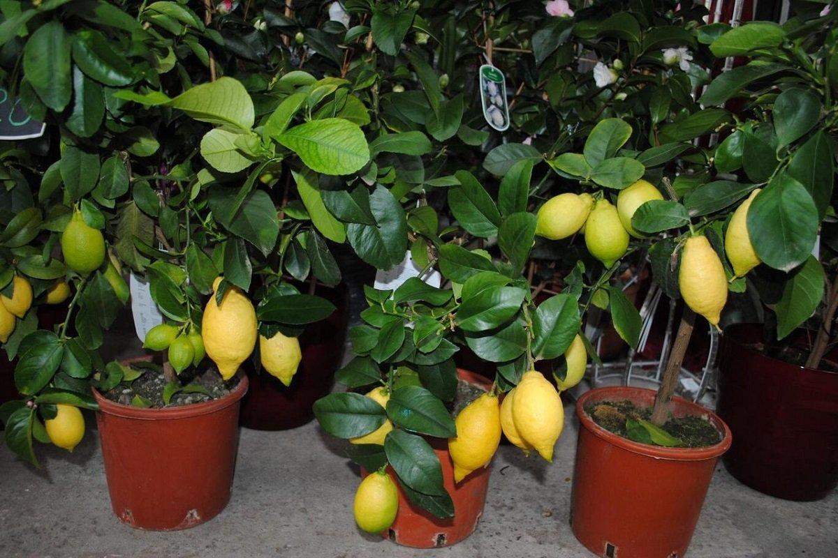 комнатные растения с запахом