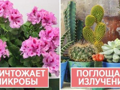 Комнатные растения с лечебными свойствами