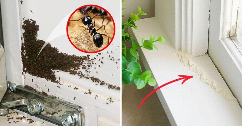 мука от муравьев
