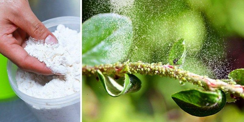 мука от вредителей растений