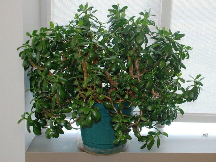полезните свойства на Jade
