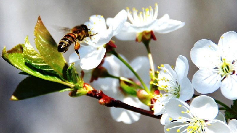 користь бджіл