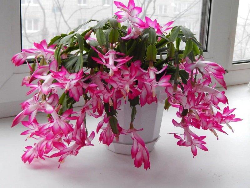 цветение комнатного растения