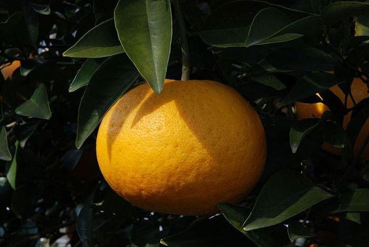 скрестить апельсин и помело