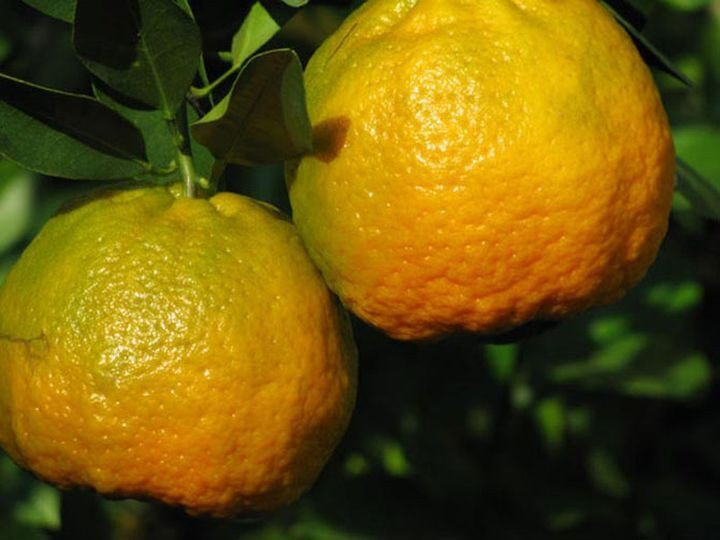 сладкий лимон понкан