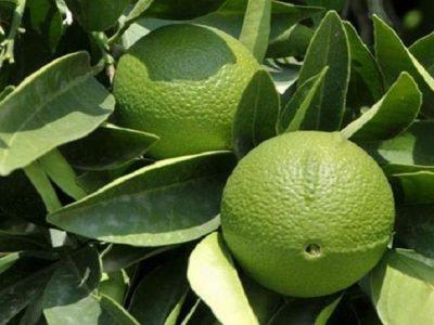 Малоизвестные цитрусовые фрукты