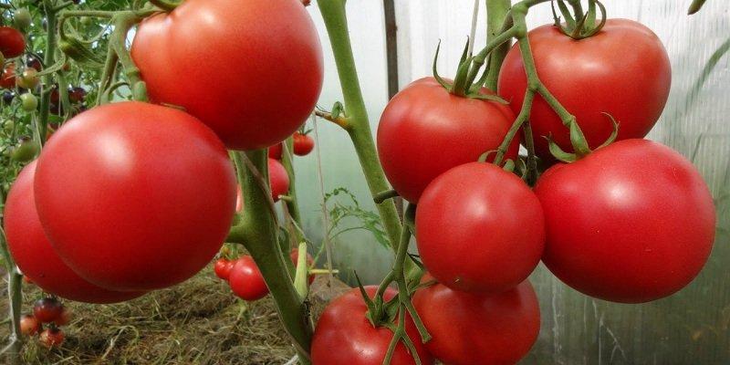 помидоры домашние