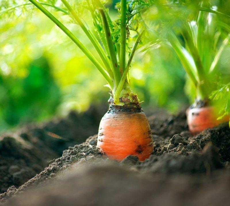 ботва моркови